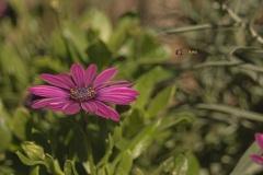 Blühte